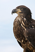Stock photo of juvenile bald eagle captured in Colorado.  Juveniles are dark brown with white mottling on wings and tail for the first four years of life.