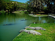 The crocodile farm at Hamat Gader, Israel Hamat Gader is located in the Yarmuk Valley on the eastern shore of the Sea of Galilee, about 20 kilometers from Tiberias. and has 4 springs one of sweet water and four of mineral water. other attractions are an archaeological site with reconstructed Roman baths, which are regarded as the most impressive in the world; an amphitheatre and a 5th century synagogue. There is also a crocodile farm with more than 200 alligators of different species