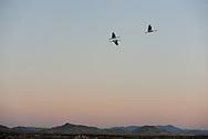 Sandhill Cranes in flight, Bosque del Apache National Wildlife Refuge, New Mexico.