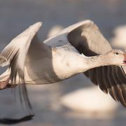 Snow goose (Chen caerulescens) in flight. Bosque del Apache NWR, New Mexico