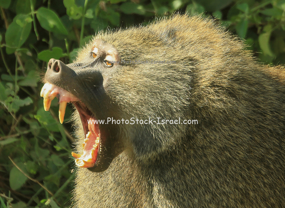 Large aggressive male Olive Baboon (Papio anubis), growling with open mouth Photographed at Serengeti National Park, Tanzania
