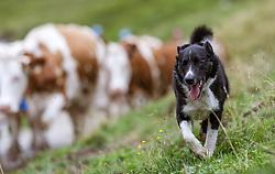 THEMENBILD - ein Hund bewacht die Kuhherde, aufgenommen am 09. August 2018 in Kaprun, Österreich // a dog guards the herd of cows, Kaprun, Austria on 2018/08/09. EXPA Pictures © 2018, PhotoCredit: EXPA/ JFK