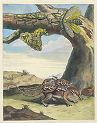 Opossum and mantid life cycle from Metamorphosis insectorum Surinamensium (Surinam insects) a hand coloured 18th century Book by Maria Sibylla Merian published in Amsterdam in 1719