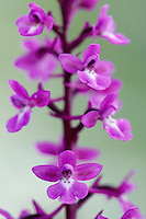 Four-spotted Orchid (Orchis quadripunctata), Katharo, Crete