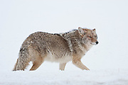 Coyote (Canis latrans)during winter in Yellowstone