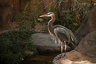 Great Blue Heron, Arizona