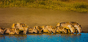 Lion pride, cubs and adults, drinking from a waterhole, Serengeti National Park, Tanzania. Lion population across African continent has plummeted from 200,000 in 1980s to less than 20,000 today.
