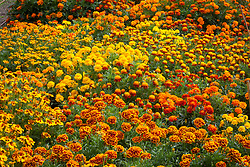 The marigold trial beds at Capel Manor
