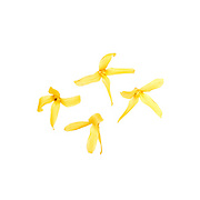 Four forsythia flowers scattered on a white background