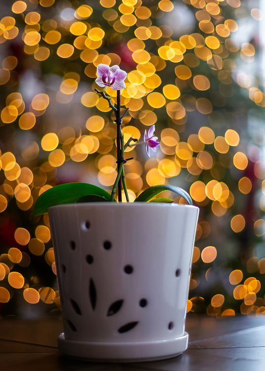 A small blooming orchid near a window on a table with background lighting from a Christmas tree showing bokeh.