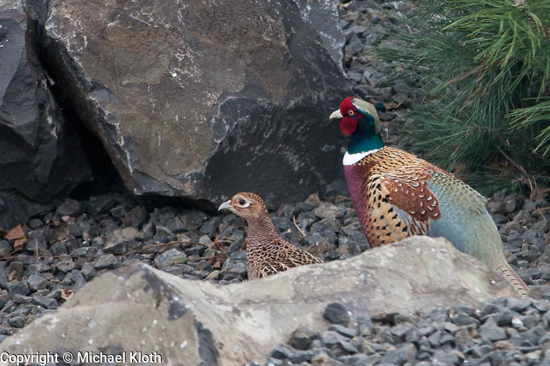 Pheasants live behind the house and often visit the bird feeder in the yard.