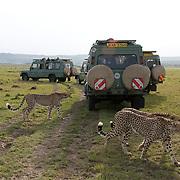 Cheetah (Acinonyx jubatus) Male siblings walking near tourists in safari vehicles. Serengeti Plains. Masai Mara Game Reserve. Kenya. Africa.