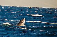 Humpback whale, Megaptera novaeangliae, Borowski, 1781, Maui Hawaii