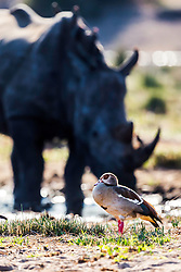 Egyptian Goose, Rhino, Kruger National Park.  The juxtaposition of the colorful goose and the, out of depth of field, rhino caught my fancy.<br /> <br /> Egyptian Goose, Kruger National Park, South Africa. I couldn't help but wonder if the Egyptian Geese had worn out their welcome in South Africa as many consider the Canada Goose has worn out it's welcome in the USA. It is hard to gauge the rage of a Rhino's eye. The poop of a goose in an African pond, has to be quite inconsequential too the prodigious poo of the hippopotamus.
