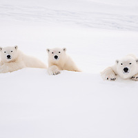 Polar bear family on top of an iceberg inquisitively watch as they are photographed.
