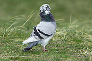 Feral Pigeon or Rock Dove. Known by the scientific name Columba livia, these birds are essentially one and the same. The Feral Pigeon (L 33cm) is the domesticated descendant, and urban counterpart, of the Rock Dove, a shy bird of wild cliffs and coasts. Feral Pigeon occurs as variety of colour forms but true Rock Doves show little variation. Both form flocks. Sexes are similar. Adult and juvenile Rock Doves have blue-grey plumage, palest on upperwings and back, and flushed pinkish maroon on breast. Has two dark wingbars and dark-tipped tail. In flight, note small white rump; upperwings have dark trailing edge and narrow wingbar. Feral Pigeons occur in spectrum of colour forms from almost black to pure white. Some are very similar to ancestral Rock Dove. Voice Utters a range of cooing calls. Status Rock Dove is restricted to coasts and cliffs in N and W and is rather scarce. Feral Pigeon is abundant in towns and cities; occasionally seen on farmland and also in ancestral haunts.