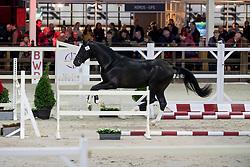069, Torino Hesa<br /> BWP Hengstenkeuring -  Lier 2020<br /> © Hippo Foto - Dirk Caremans<br />  17/01/2020