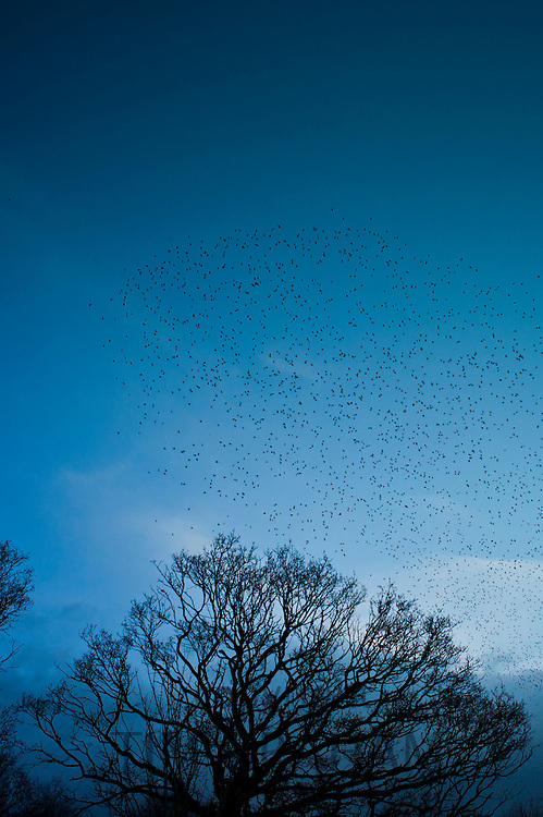Starlings gathering to roost at Avalon Marshes wetlands of the Somerset Levels near Shapwick Heath, Somerset, UK