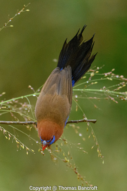 Stretching to the maximum, this Purple Grenadier finds just the right seed to crunch on for breakfast.