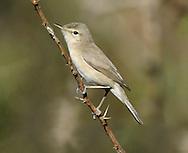 Sykes's Warbler - Iduna rama