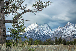 """Stormy Day, Limbar Pine, Cathedral Group, Grand Tetons, Grand Teton National Park<br /> <br /> For production prints or stock photos click the Purchase Print/License Photo Button in upper Right; for Fine Art """"Custom Prints"""" contact Daryl - 208-709-3250 or dh@greater-yellowstone.com"""