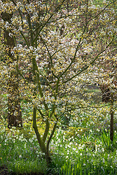 White snakeshead fritillaries - Fritillaria meleagris - growing under Amelanchier × grandiflora 'Forest Prince' - smooth serviceberry - in John Massey's garden at Ashwood Nurseries.
