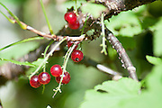 Guelder rose (Viburnum opulus) in fruit. Photographed in Tirol, Austria
