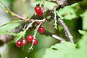 Guelder rose (Viburnum opulus) in fruit. Photographed in Tirol, Austria