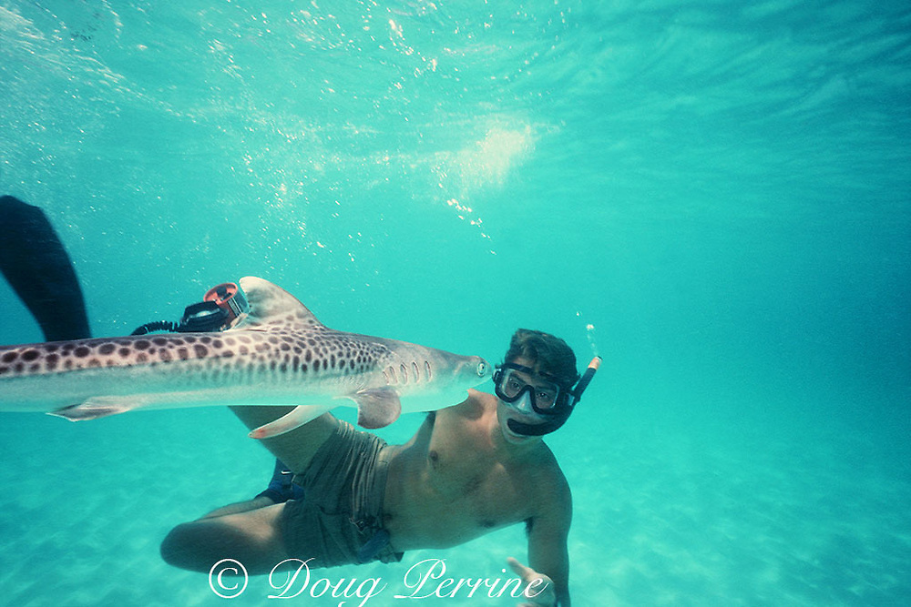 shark researcher Dr. Rocky Strong and baby tiger shark, Galeocerdo cuvier, just over two feet long, Bimini, Bahamas ( Western Atlantic Ocean )