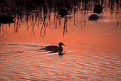 Duck, Pintail / Anas acuta