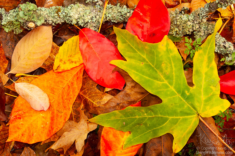 An arrangement of autumn leaves shows the wide assortment of fall colors on display at the Washington Park Arboretum in Seattle, Washington.
