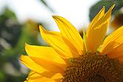 backlit Sunflower in a field