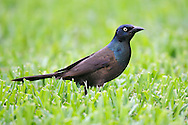 Common Grackle - Quiscalus quiscula - Adult male