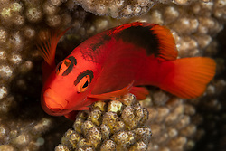 This wary beauty, a Flame Hawkfish, Neocirrhitus armatus, rarely emerges from its hiding place among coral branches. Namena Marine Reserve, Fiji, Pacific Ocean