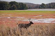 Indian Sambar, Rusa unicolor, male deer in Rajbagh Lake in Ranthambhore National Park, Rajasthan, India