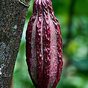 A variety of the mythical Royal Cocoa of Soconusco: cundeamor cocoa.