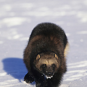Wolverine portrait in the winter in the Rocky Mountains of Montana. Captive Animal