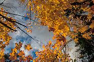 A photo of Bigleaf Maple (Acer macrophyllum) during autumn in Seattle, Washington.