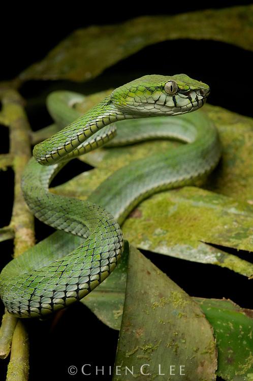 The Sumatran Pit Viper (Trimeresurus sumatranus) is a highly venomous species, ranging throughout much of Southeast Asia.  Like other green vipers it is an arboreal ambush predator. Sarawak, Malaysia (Borneo).