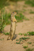European Ground Squirrel, Spermophilus citellus, erected, Europaeischer Ziesel, near Nikopol, Bulgaria