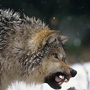 Gray Wolf, (Canis lupus) Portrait. Snarling over deer carcass.  Captive Animal.