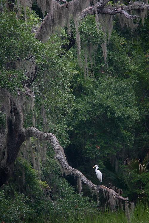 Egret preens on low oak limb along slough.
