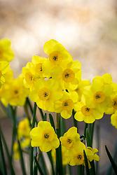 Narcissus 'Kokopelli' AGM