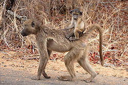 Baby vervet riding on mother's back, South Africa