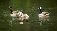Canada Geese. Image taken with a Nikon D2xs camera and 200 mm f/2 VR lens with a 1.4x TCE-II teleconverter.