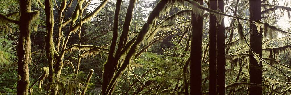 Forest trees with moss and early light