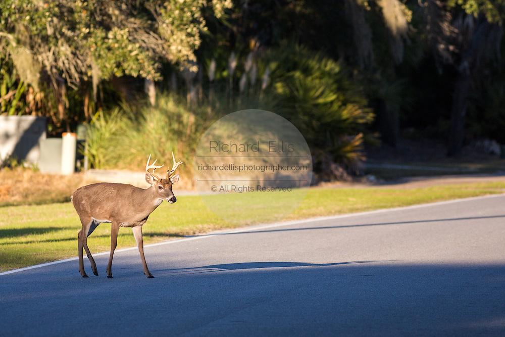 A deer crosses a road on Fripp Island, SC.