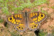 Wall Butterfly, Lasiommata megera, KENT UK, resting on brick wall, wings open, basking in sun