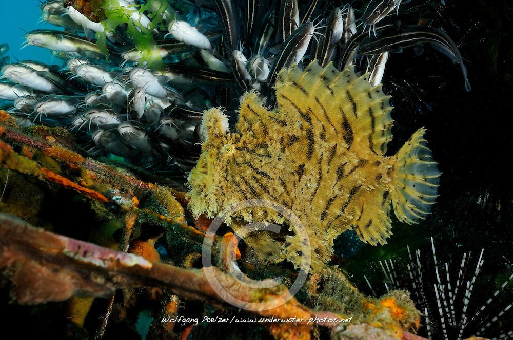 Antennarius hispidus, Zottiger Anglerfisch, Kroetenfisch, Shaggy anglerfish, frogfish,Secret Bay, Gilimanuk, Bali, Indonesien, Indopazifik, Indonesia, Asien, Indo-Pacific Ocean, Asia