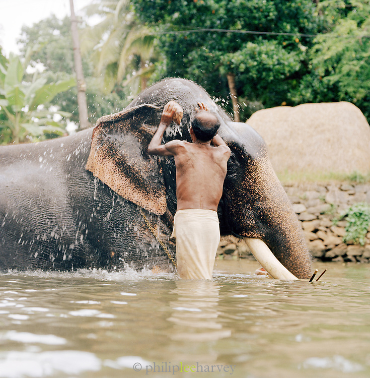 Working elephant being washed by his handler at the end of day, Kerala, India
